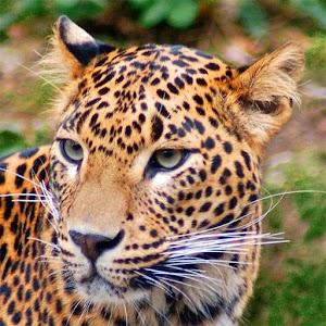 Jaguar Wallpaper Gallery