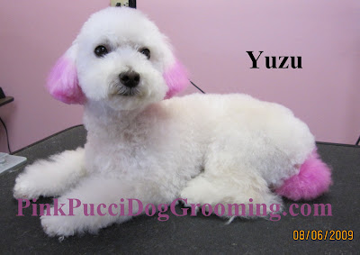 Yuzu Toy Poodle with Pink Color Ears and Tail