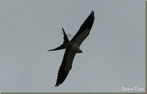 swallowtailed kite_028
