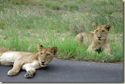 Lion cubs Kruger National Park South Africa