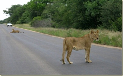 Female lions Kruger National Park Mpumalanga South Africa