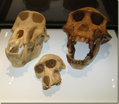 Primate skulls Cradle of Humankind Museum South Africa