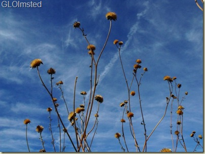 10 Dried flowers against the sky Weaver Mts Yarnell AZ (800x600)