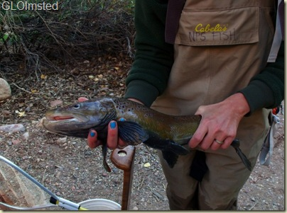 Brown trout caught by National Park Service biologist in Bright Angel Creek Grand Canyon National Park Arizona