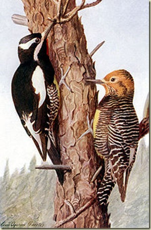 06 male & female Williamson's Sapsucker