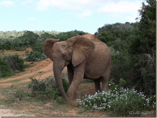 Elephant Addo Elephant National Park Eastern Cape South Africa
