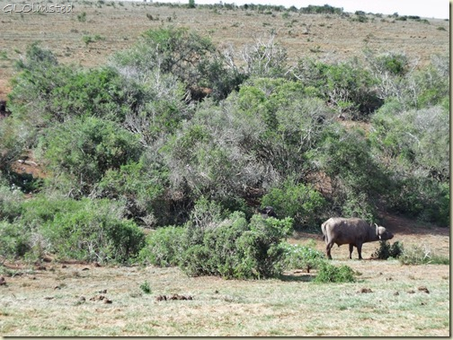 Buffalos Addo Elephant National Park Eastern Cape South Africa