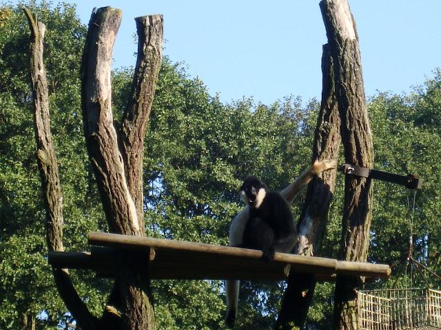 A to gibbony już za dnia
