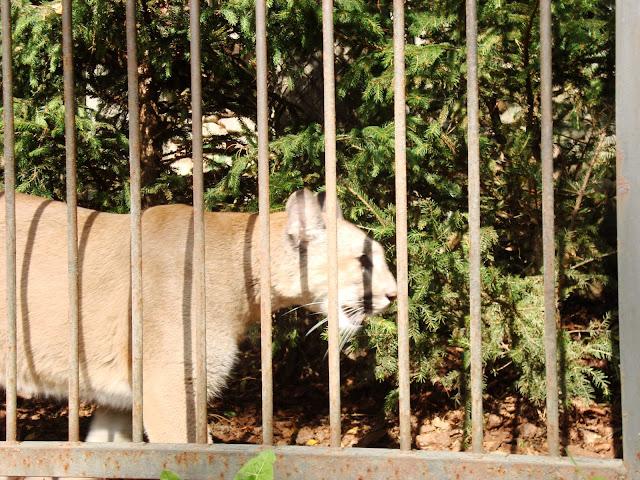 Puma - Zoo Oliwa