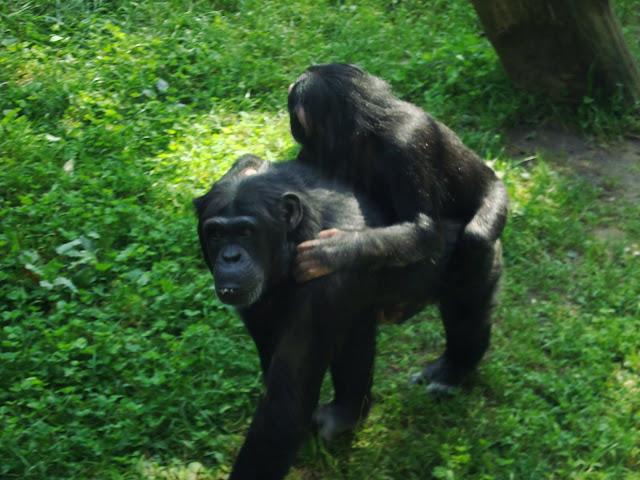Szympansy z oliwskiego zoo