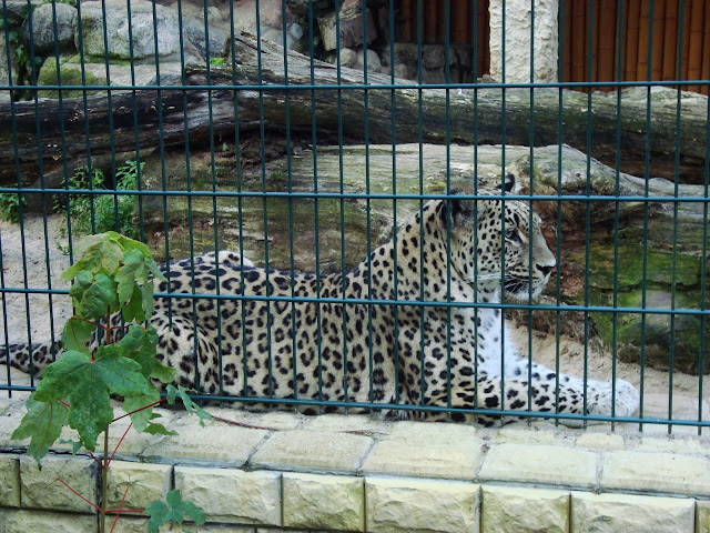 Pantera perska - Zoo Oliwa