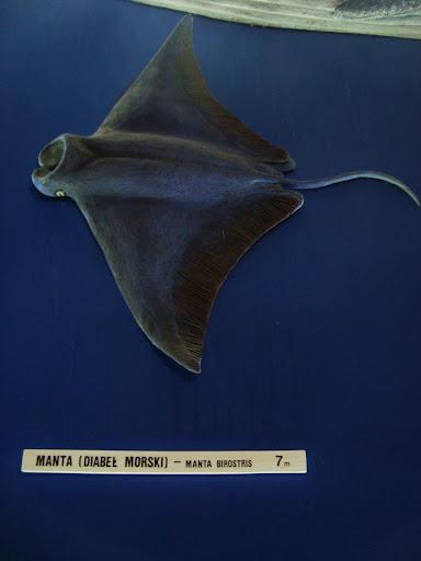 Manta (Diabeł morski)