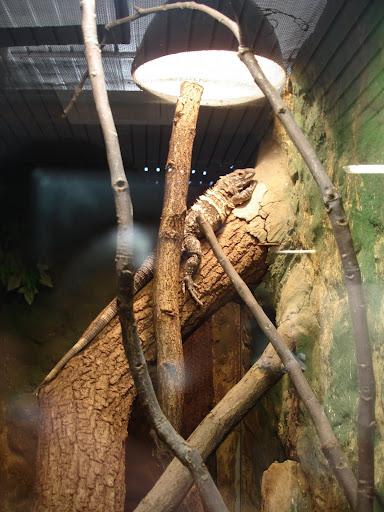 Legwan kubański