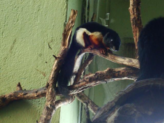 Wiewiórka trójbarwna - Zoo Wrocław