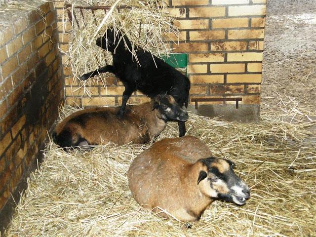 Owce kameruńskie - wypoczynek w objęciach siana...