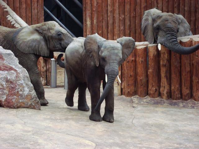 Prosze państwa - oto słoń! Trzy nawet!