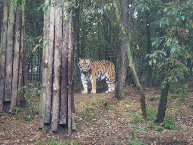 Tygrys patrzy...