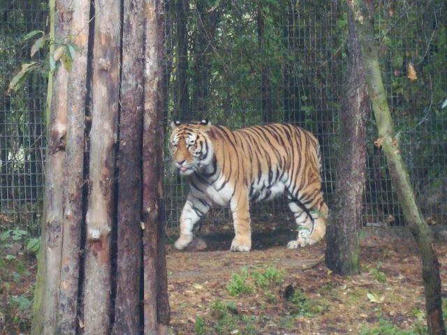 Tygrys idzie...