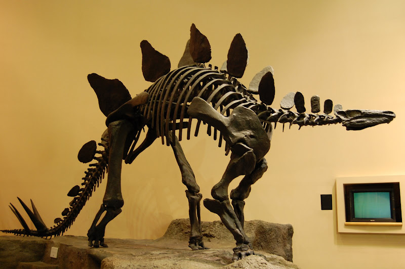 This particular model was not a real Stegosarus skeleton