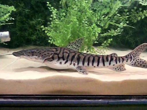 My new addition: Reticulated Tiger shovelnose (Pseudoplatystoma reticulatum)   MonsterFishKeepers.com