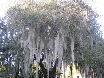 planting under live oak tree