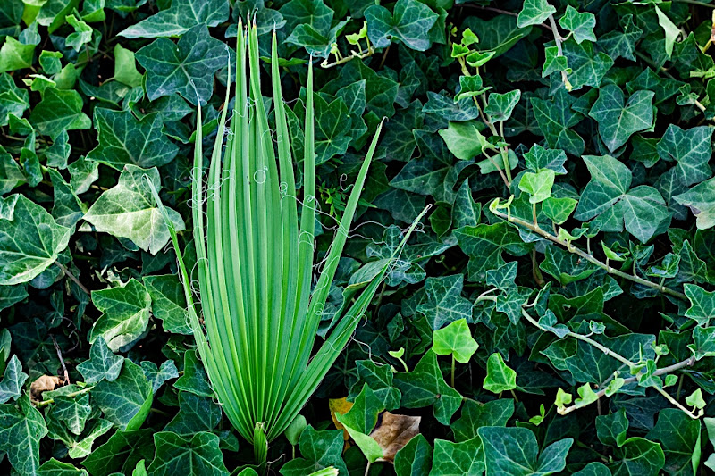 Young Palm in the Ivy
