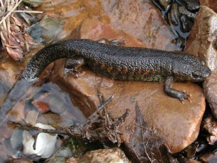 Ribbed Newt