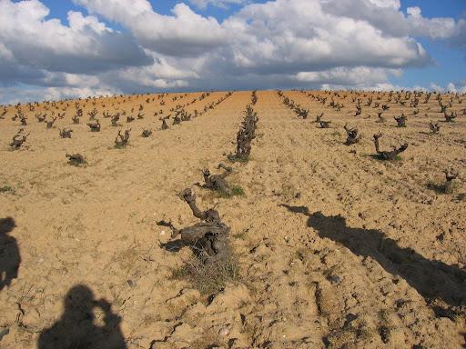 Old Bush Vine Tempranillo in Toro