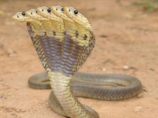 5 head snakes