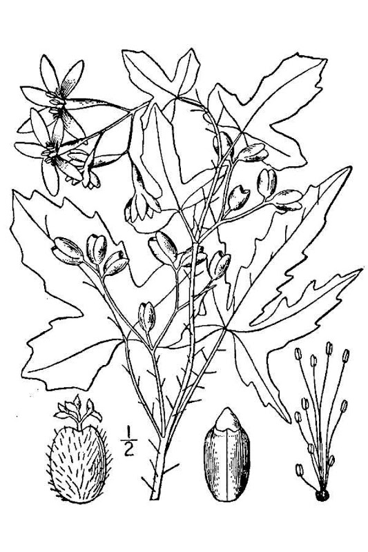 Chinkapin Oak Leaf Scientific Name