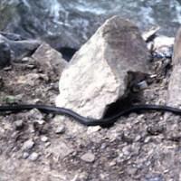 Bailey's snake: il serpente del Tibet