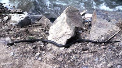 Baileys Snake, il serpente del Tibet