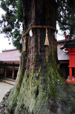 Il cedro di Kasuga-taisha