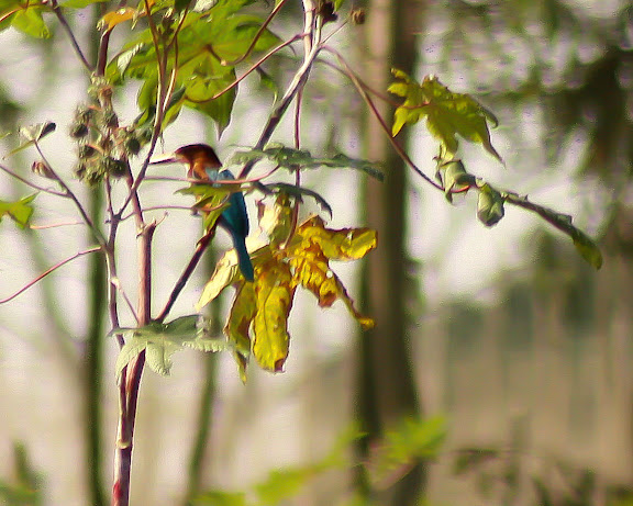 White Throated Kingfisher by Vaibhav
