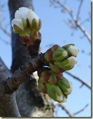 cherry blossom 2_1_1_1