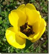 tulip1_1_1