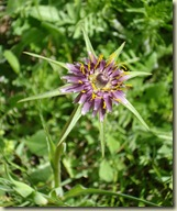 salsify - Tragopogon porrifolius_1_1