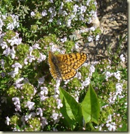 butterfly on thyme_1