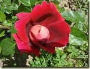 rose - red_1_1