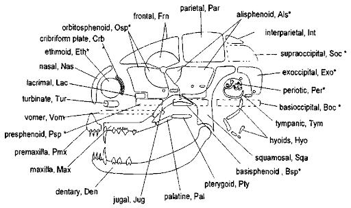 teeth bones diagram