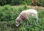 Rare white faced woodland sheep