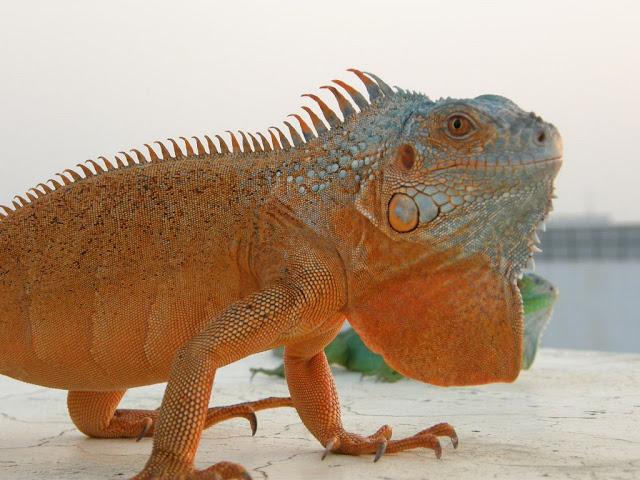 紅鬣蜥 - 蜥蝪交流討論板