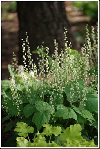 white coral bells