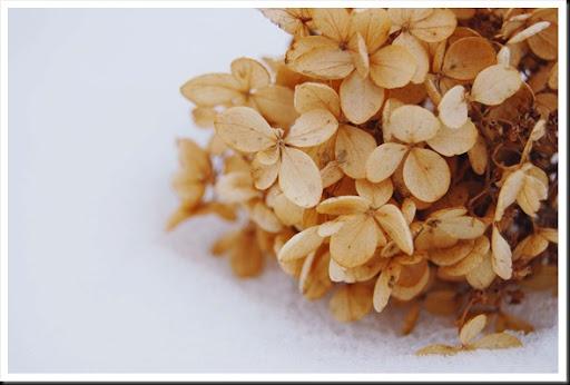 winter hydrangea puff