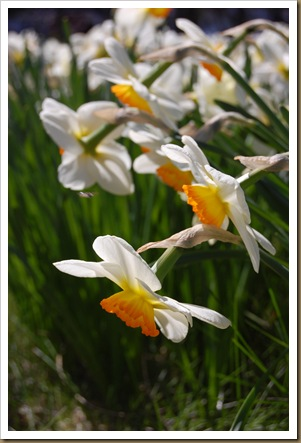 daffodils down2