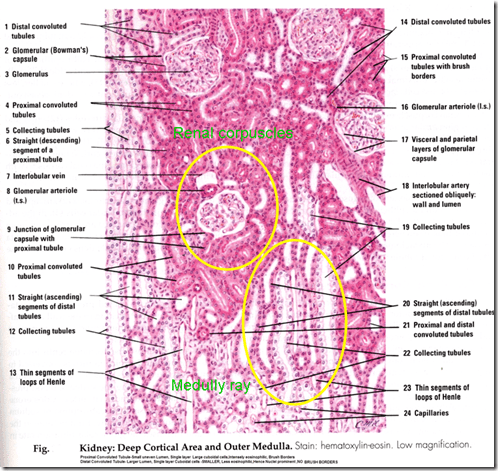 excretory system diagram basic 2000 gmc sierra 1500 stereo wiring anatomy & histology of the urinary tract | medical school lecture notes – trusted reliable