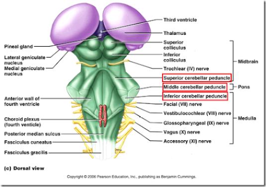 cerebellar structure, function and vestibular disorder -, Human body