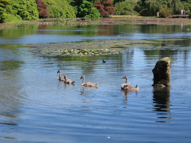 Swan and cygnets at Sheffield Park Garden