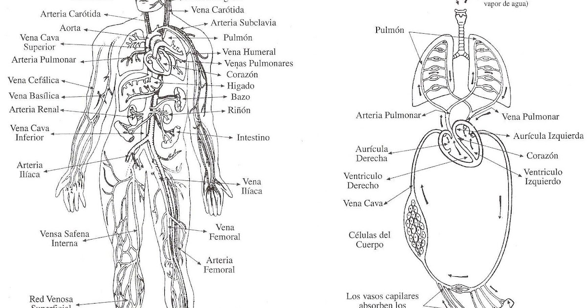 circulatory System in spanish, free coloring pages