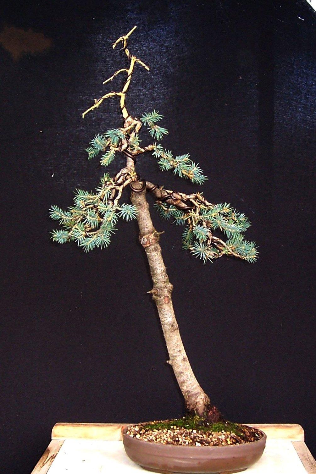 MiKo Bonsai Wee Trees Literati competition